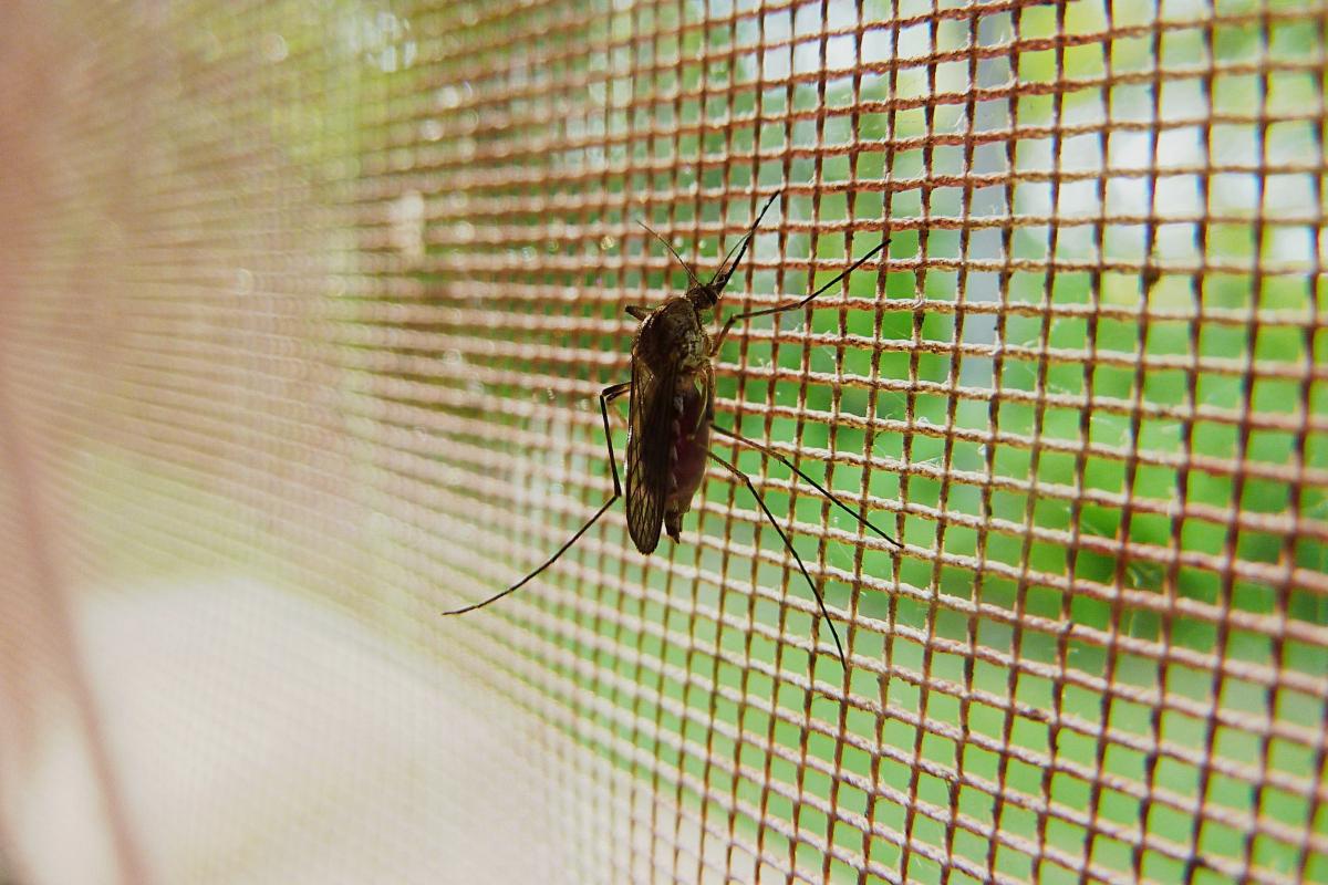 Mosquito enganchado en la mosquitera de una casa